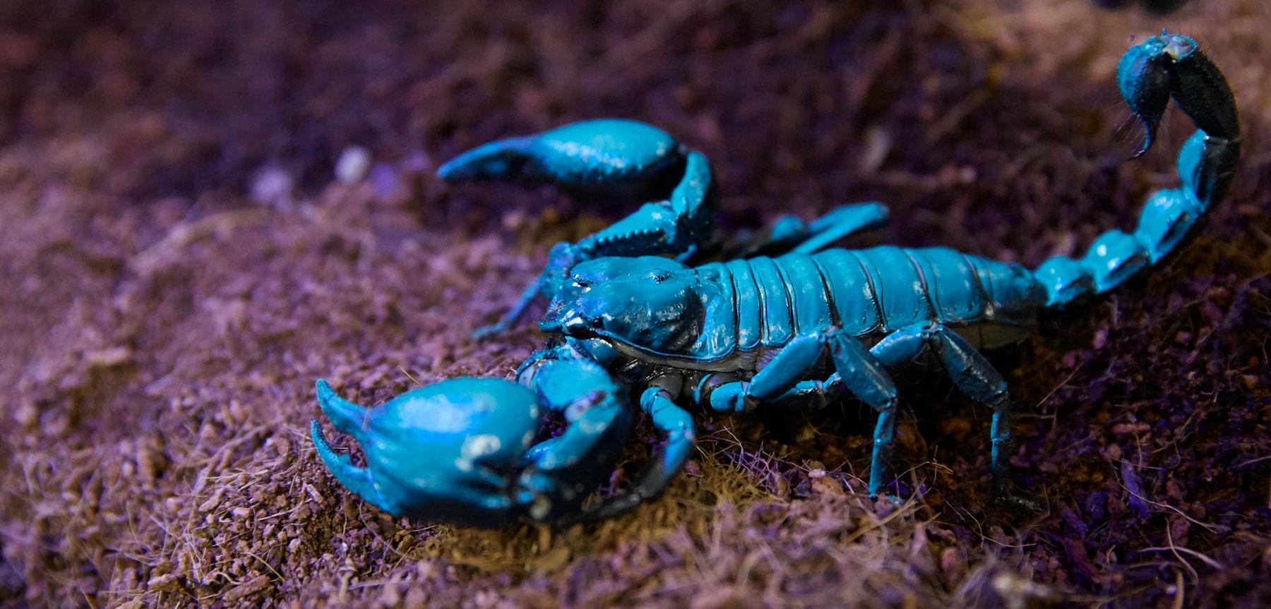 Scorpion Zoo Med Laboratories Inc