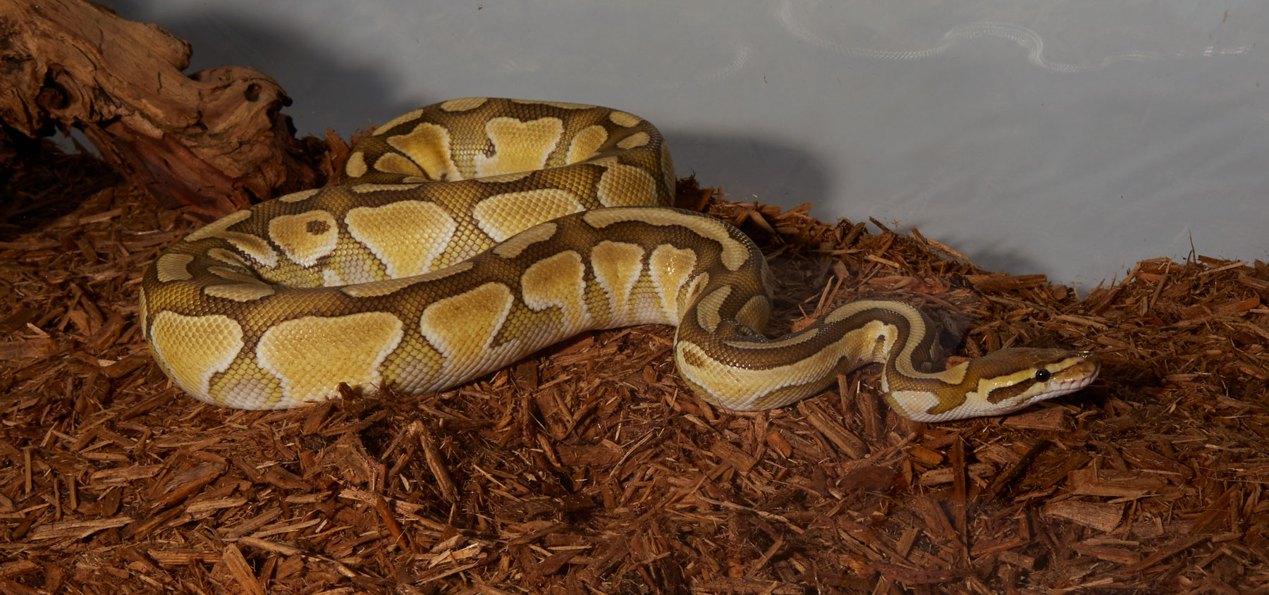 Ball Python Zoo Med Laboratories Inc