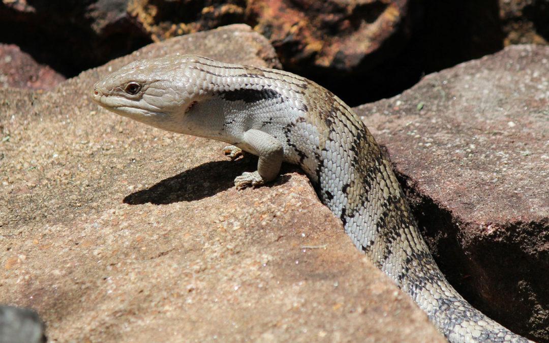 Blue Tongue Skink – Australian