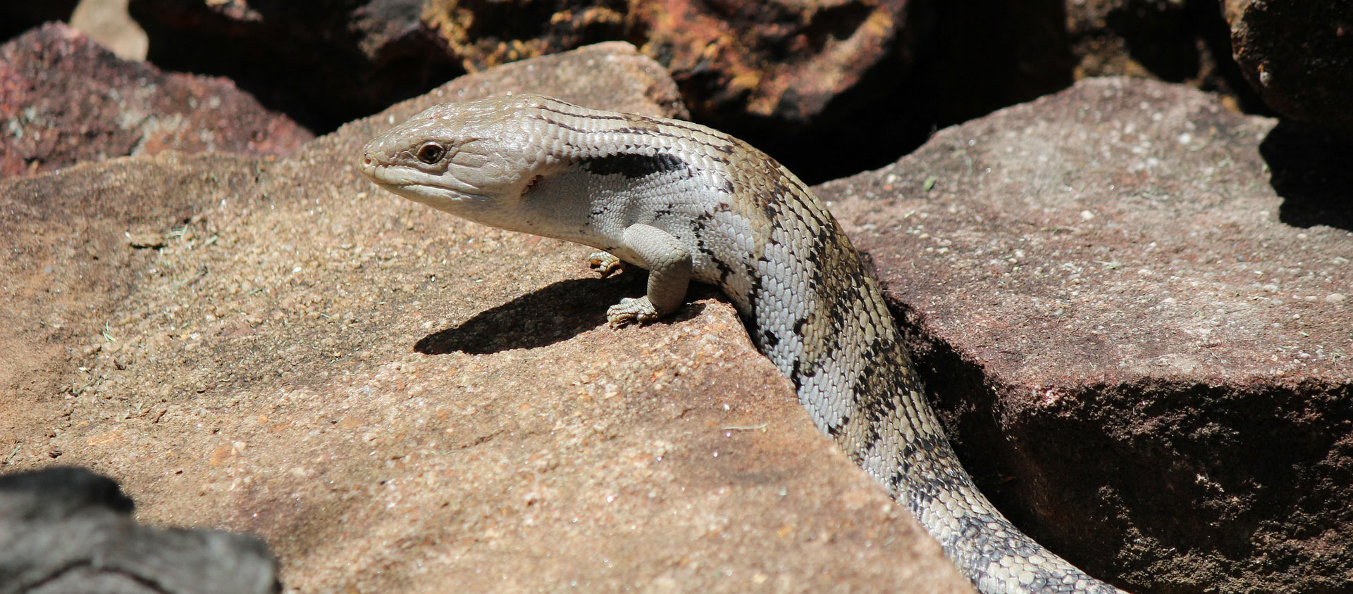 Blue Tongue Skink Australian Zoo Med Laboratories Inc