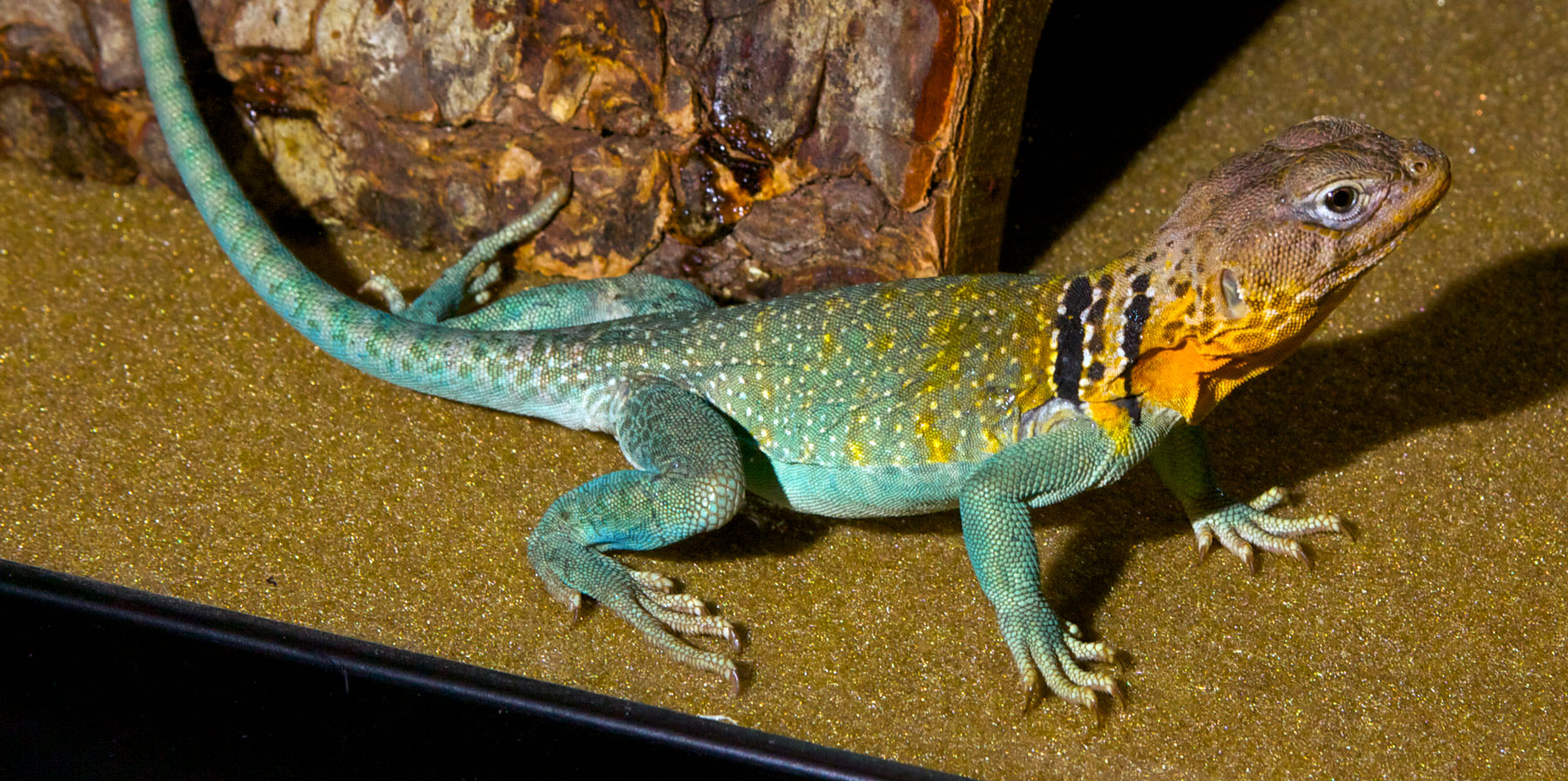 Collared Lizard Zoo Med Laboratories Inc