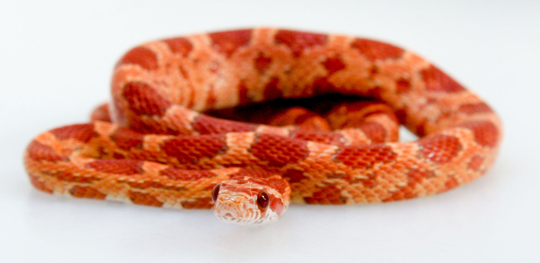 Corn Snake Zoo Med Laboratories Inc