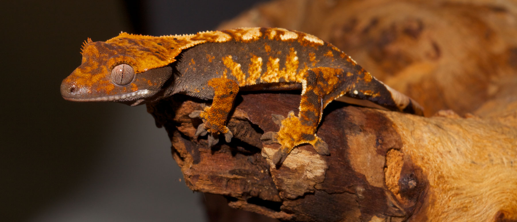 Crested Gecko Zoo Med Laboratories Inc