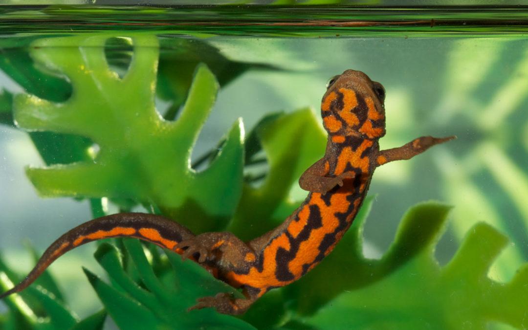 Aquatic Newt