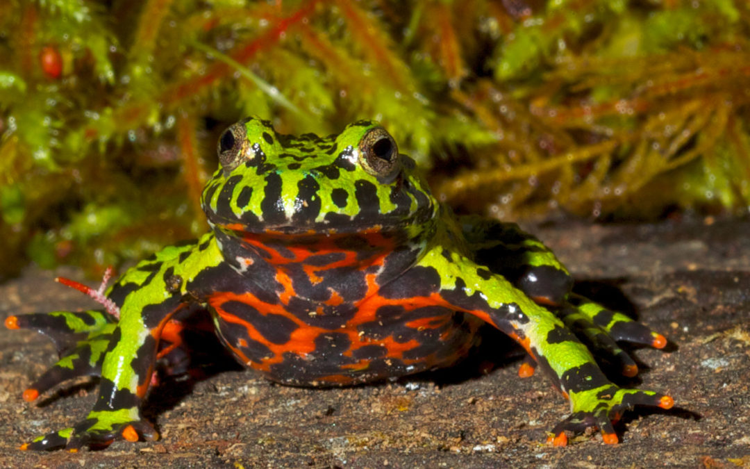 Fire-Belly Toad
