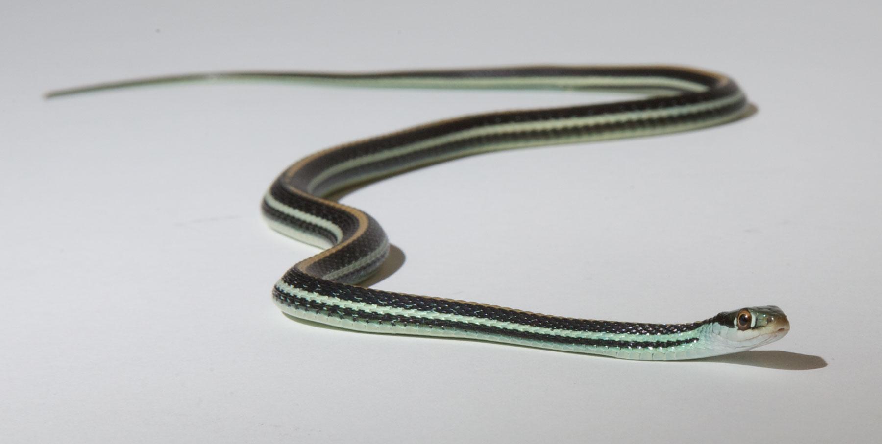 Garter Snake Zoo Med Laboratories Inc