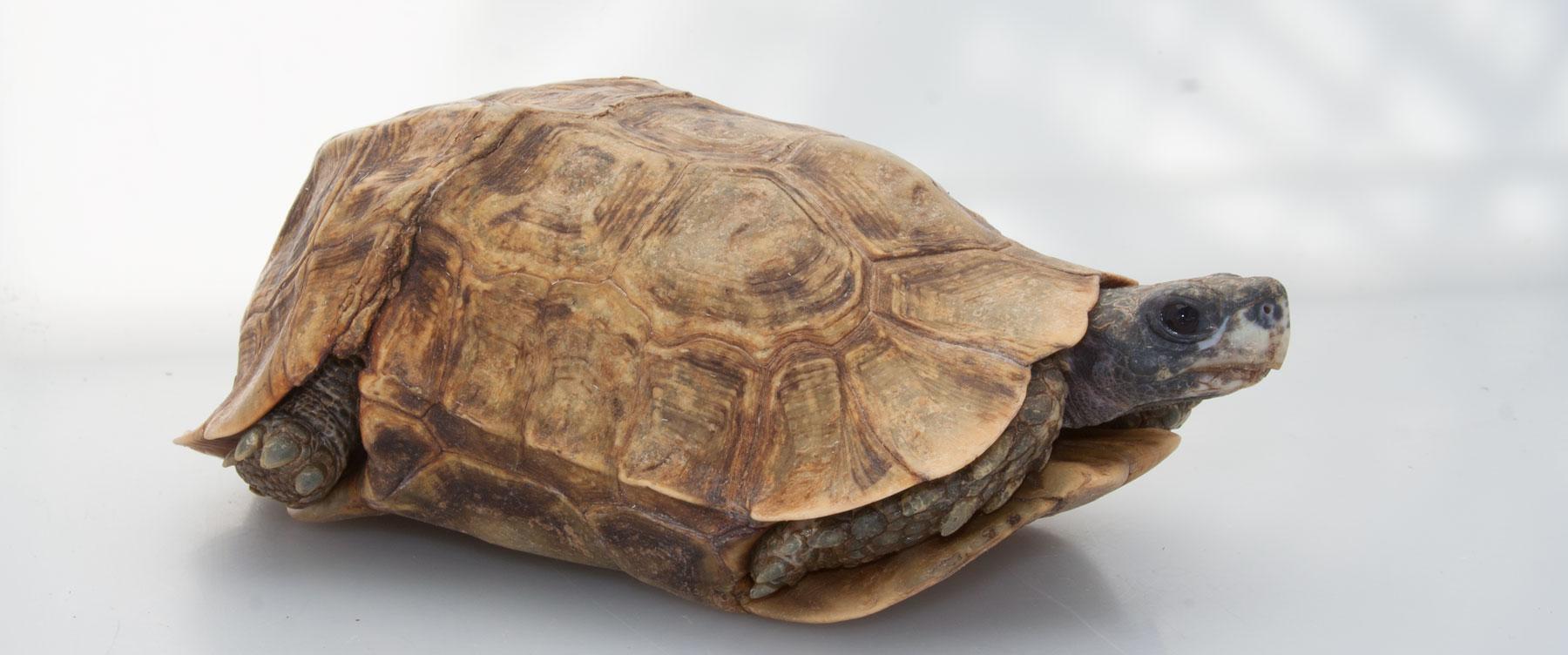 Hingeback Tortoise Zoo Med Laboratories Inc