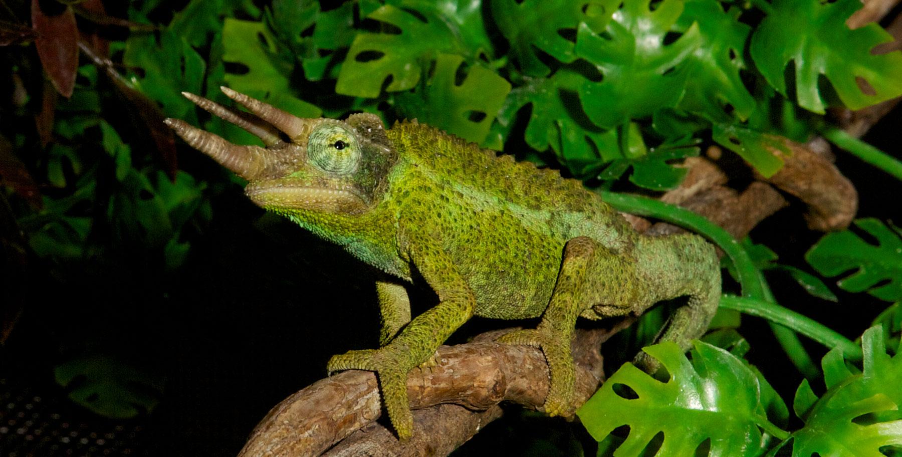Jackson S Chameleon Zoo Med Laboratories Inc