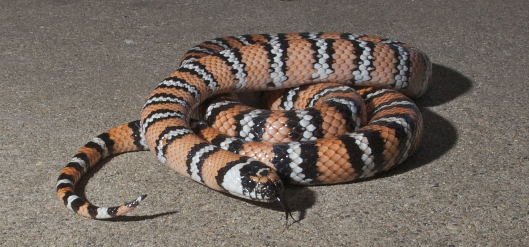 common king snake