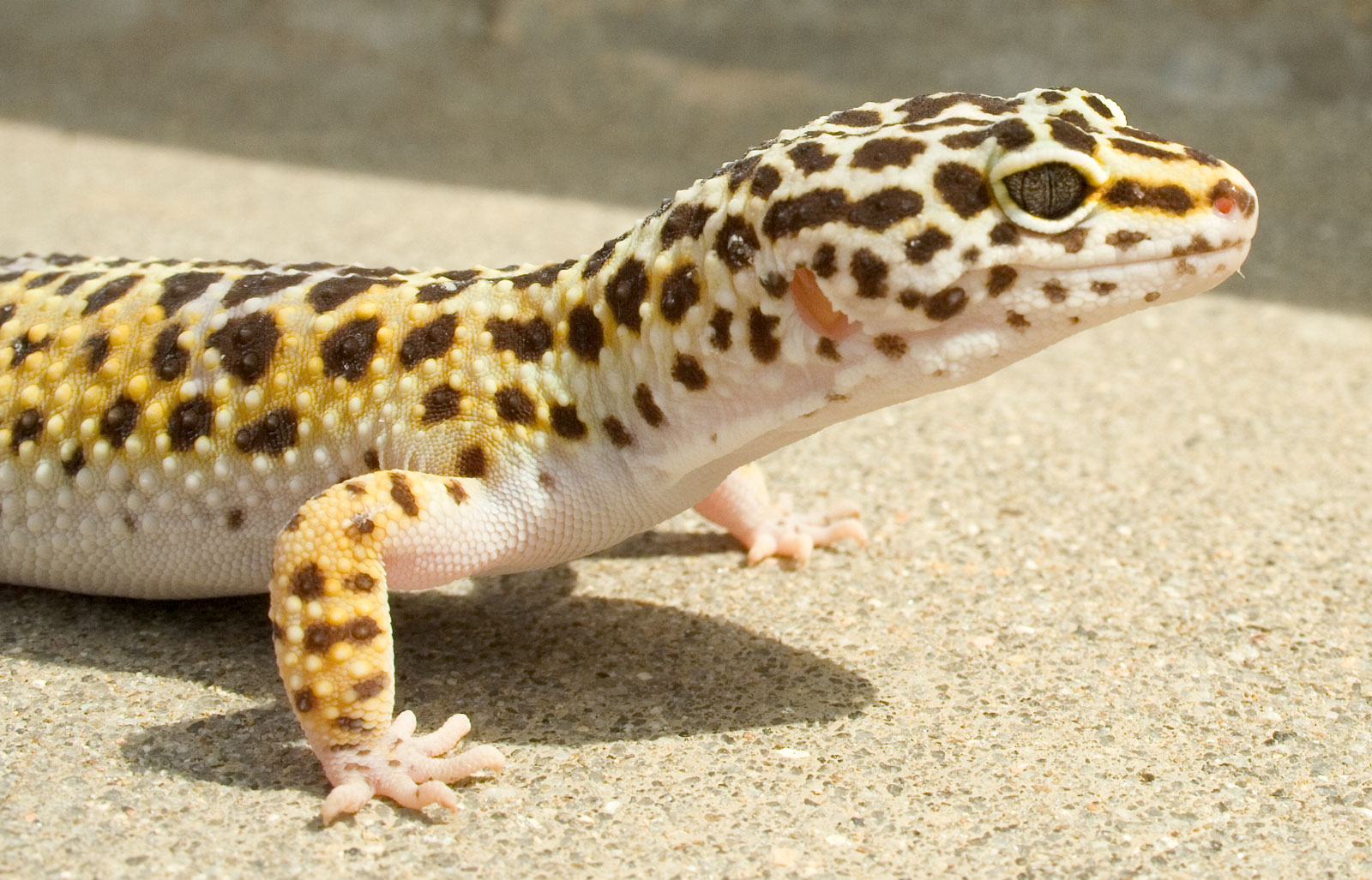Reptile Carpet For Leopard Geckos Nice Houzz
