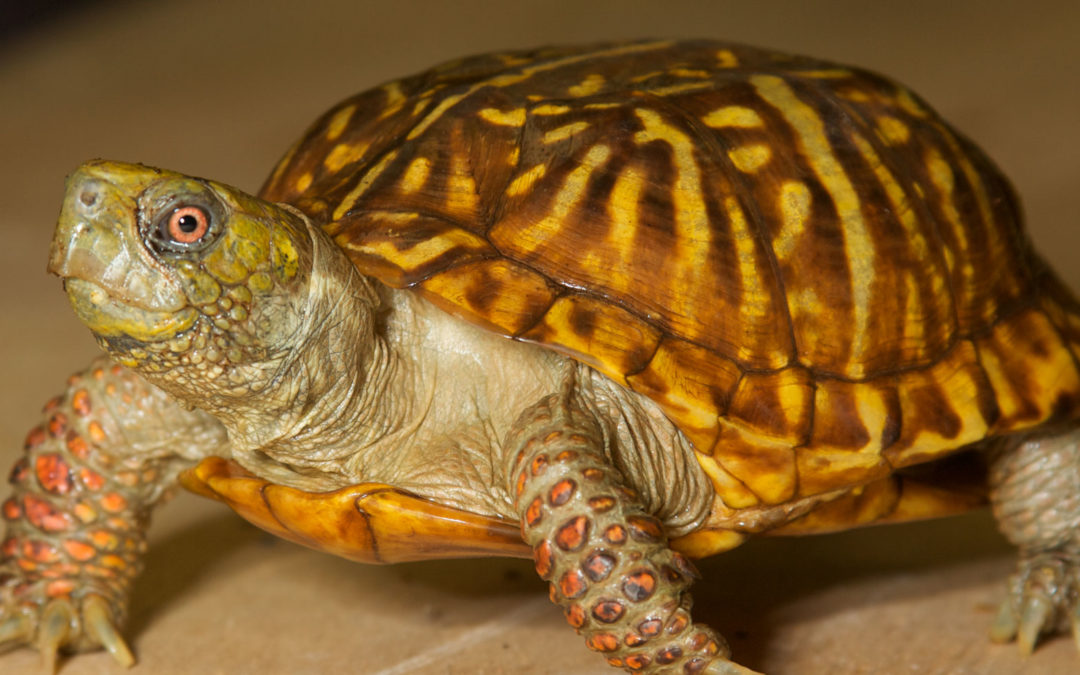 North American Box Turtle