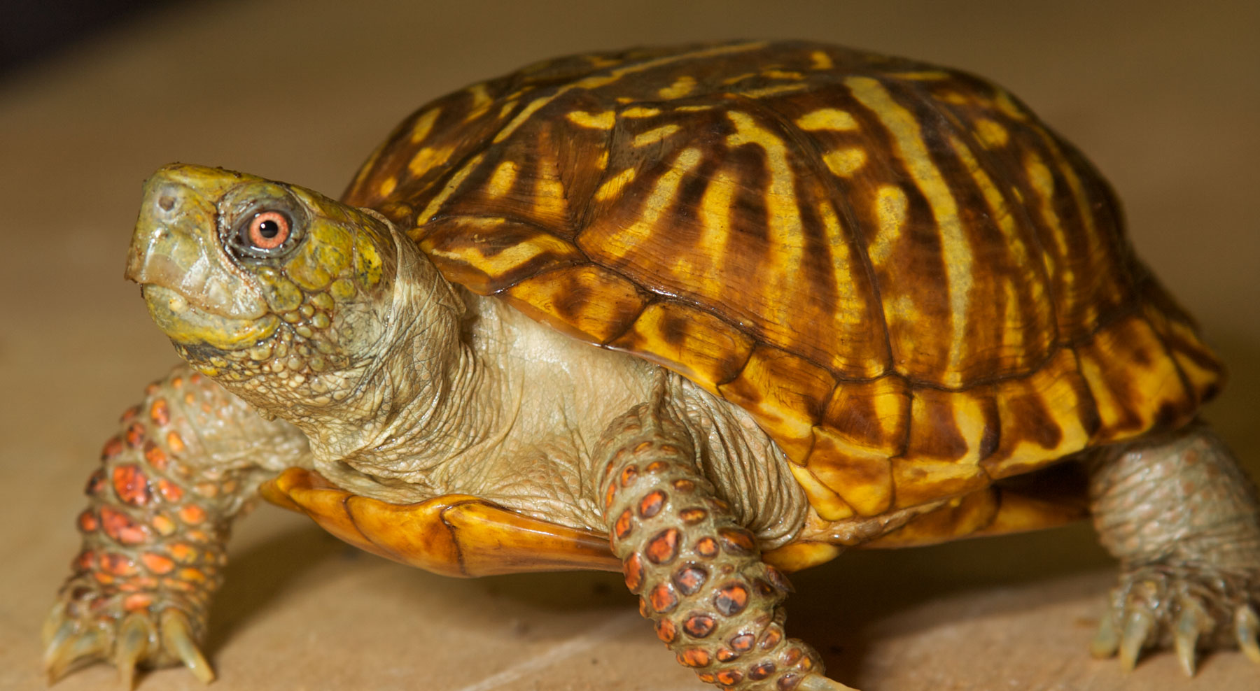 North American Box Turtle Zoo Med Laboratories Inc