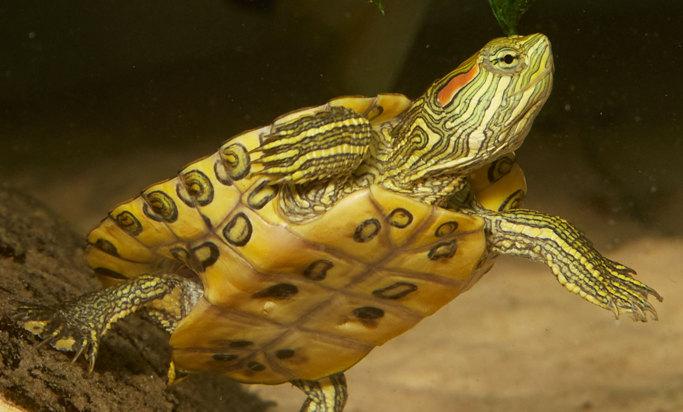 Red Ear Slider Zoo Med Laboratories Inc