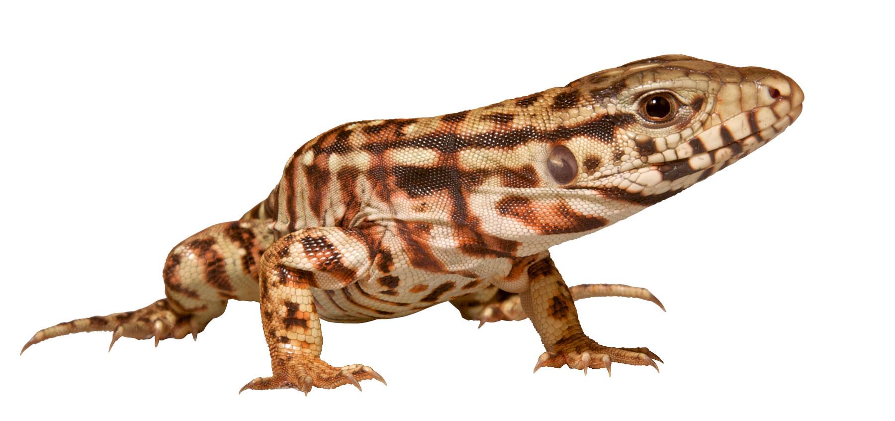 Monitor Tegu Zoo Med Laboratories Inc