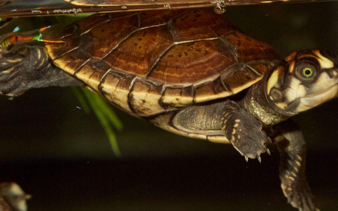 Sideneck Turtles