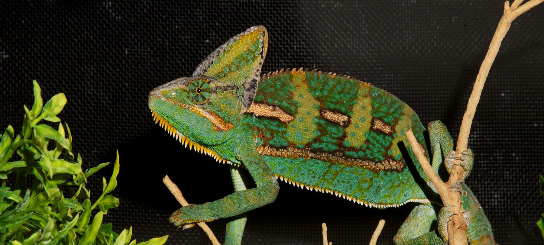 Veiled Chameleon Zoo Med Laboratories Inc