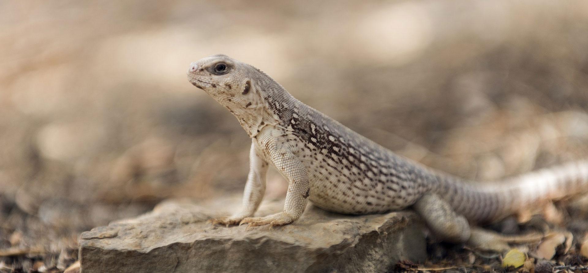 Desert Iguana Zoo Med Laboratories Inc