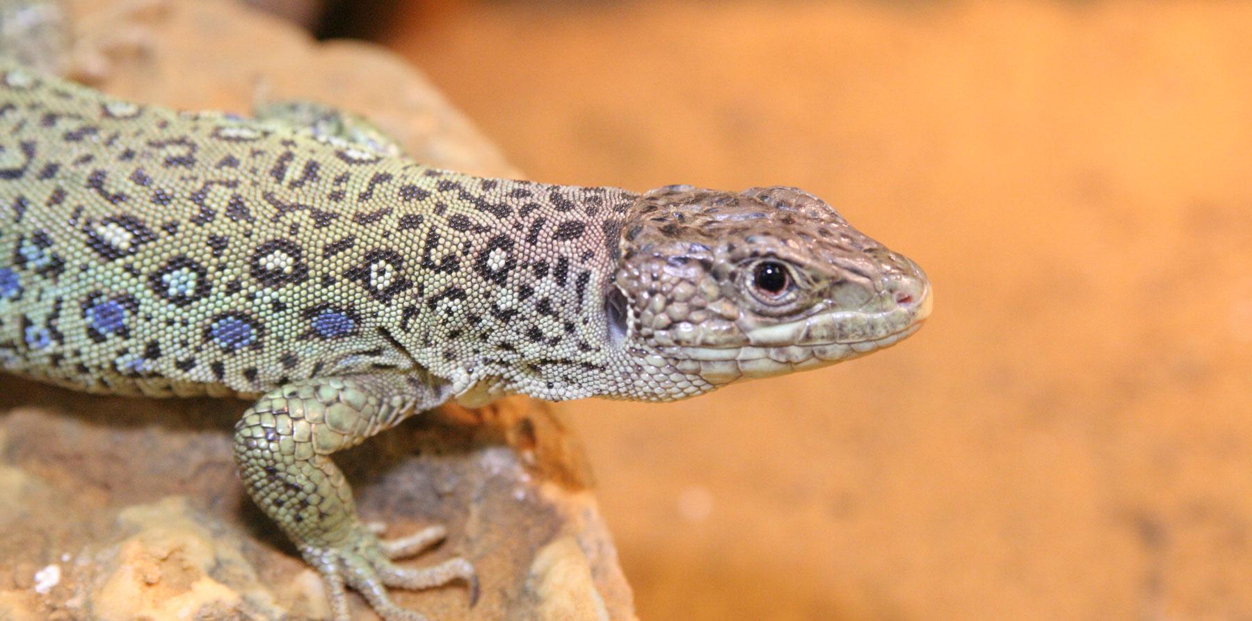 Desert Lizards Zoo Med Laboratories Inc
