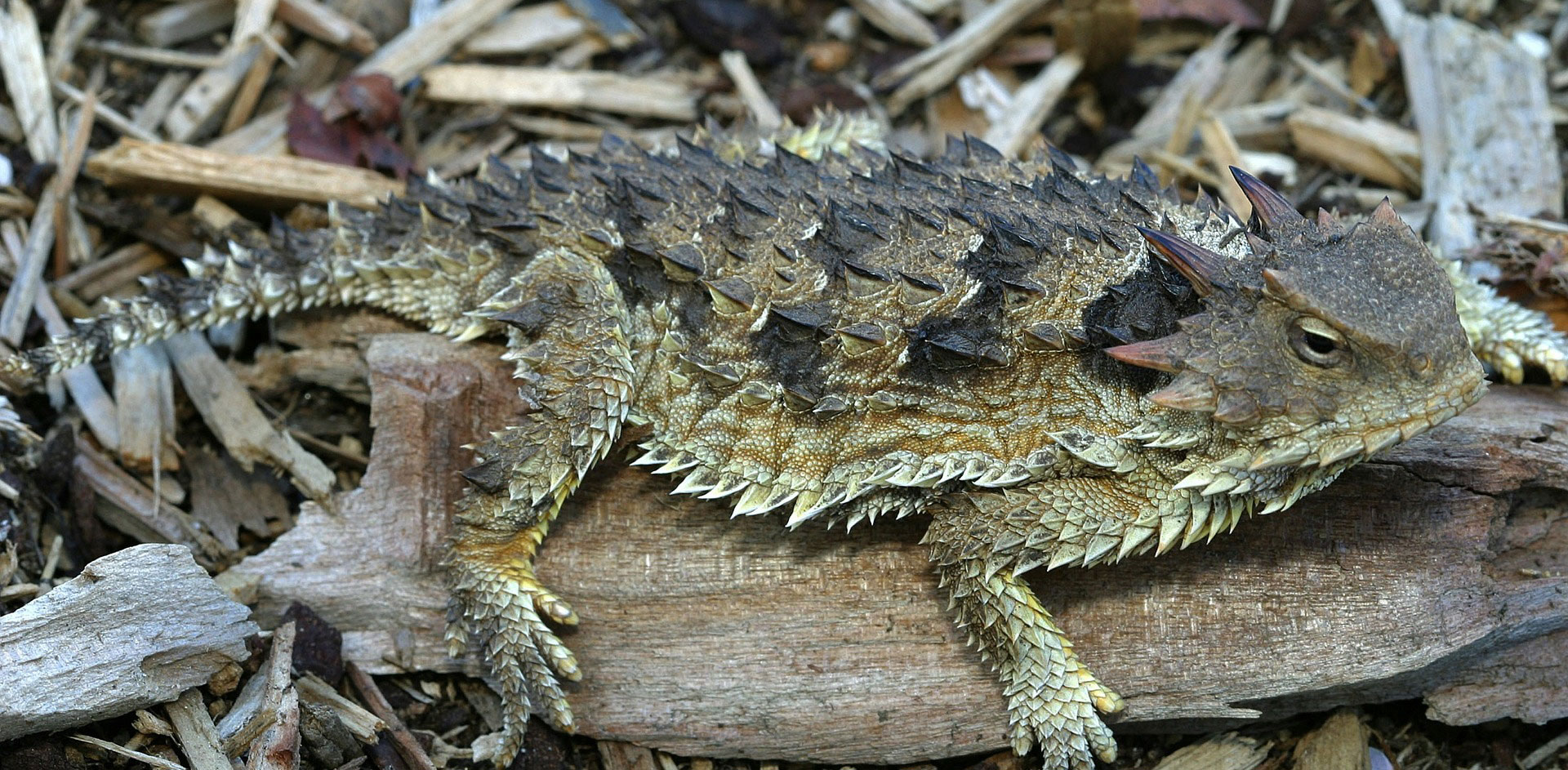 Horned Lizard Zoo Med Laboratories Inc