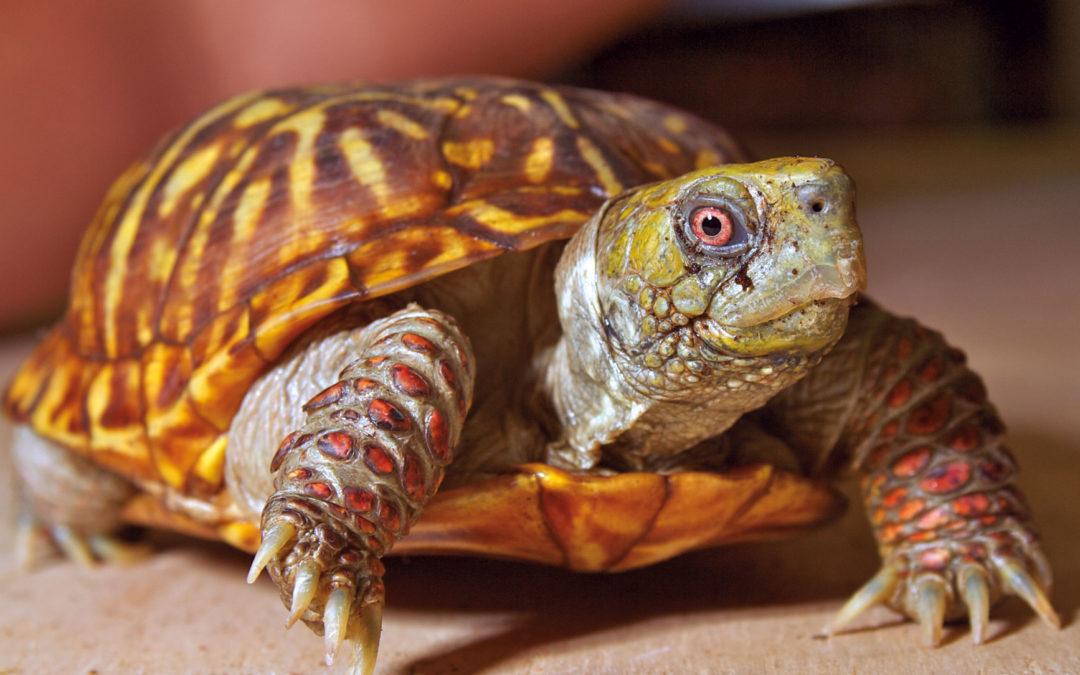 Tortoises / Land Box Turtles